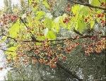 Cây Trôm hôi ở Đàn Nam Giao gây ô nhiễm môi trường