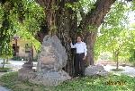 Cây Bồ đề ở Huế