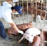 Hơn 60.000 liều văc xin Lở mồm long móng được sử dụng để tiêm phòng cho đàn gia súc đợt 2 năm 2016