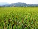 A Lưới: Tăng cường tổ chức sản xuất lúa theo quy mô cánh đồng tập trung, đưa cơ giới hóa vào sản xuất nông nghiệp