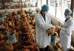 Hỗ trợ 700.000 liều vắc xin cúm để tiêm phòng cho đàn gia cầm trên địa bàn tỉnh