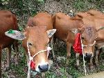 Trao 24 con bò giống sinh sản cho 5 xã tại huyện A Lưới