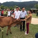 Trao tặng Bò sinh sản cho các hộ gia đình bị nhiễm chất độc da cam ở xã Đông Sơn, huyện A Lưới.