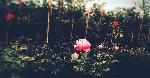 Tuyển tập truyện ngắn Sông Hương 30 năm: MỘT ĐÓA HỒNG XƯA
